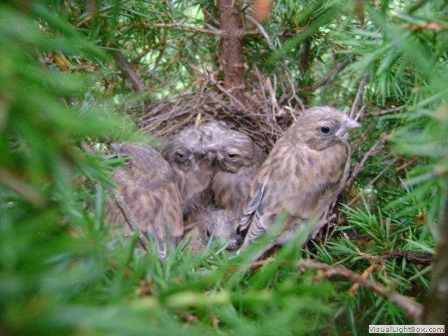 Młode makolągwy w gnieździe