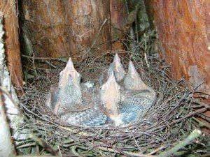 Młode sójki w gnieździe